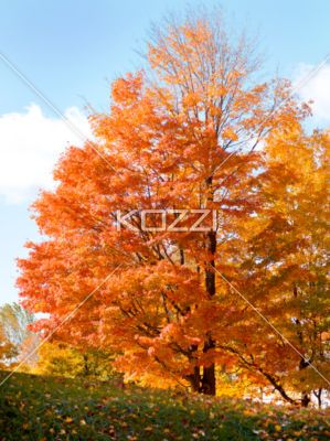 colorful autumn trees - Colorful maple trees on a hillside in Ontario