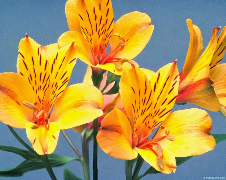 http://flower-pics.blogspot.com - Alstroemeria Flowers Pictures, Images, Photos, Wallpaper and Gallery.