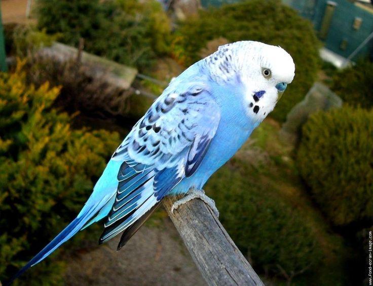 Oiseau perruche ondulee perruche 58