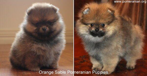 Orange Sable Pomeranian Puppies Pomeranianpuppy Pomeranian Pomeranians Poms Pom Pomeranian Colors Dogs Pomeranian Puppy