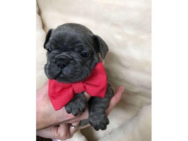 Humblefrenchbulldogpuppiesavailableforsale French Bulldog