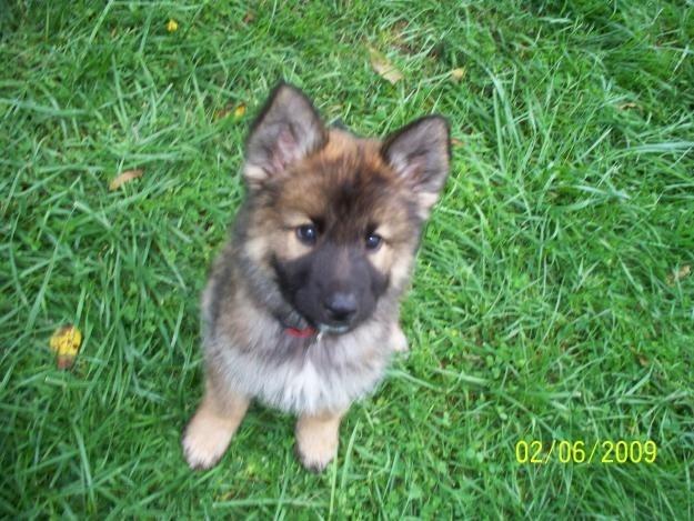 Mother was German Shepherd/Husky. Father was Rottweiler/American Bulldog.