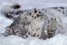 Six-month old Snow Leopard in snow, Snow leopards are capable of killing prey up to three times their own weight.