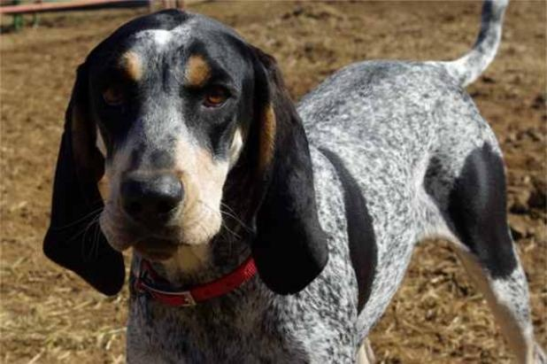 Any Coonhound In National Dog Show