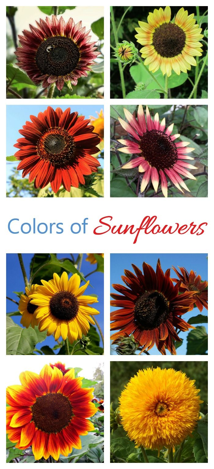 Sunflowers are not just yellow. They come in a wide variety of colors.