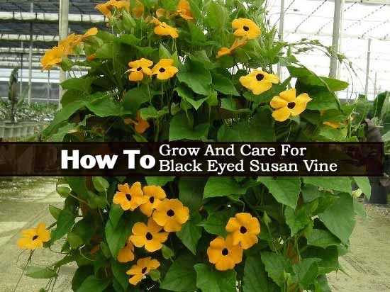 How To Grow And Care For Black Eyed Susan Vine - Thunbergia Alata: Video