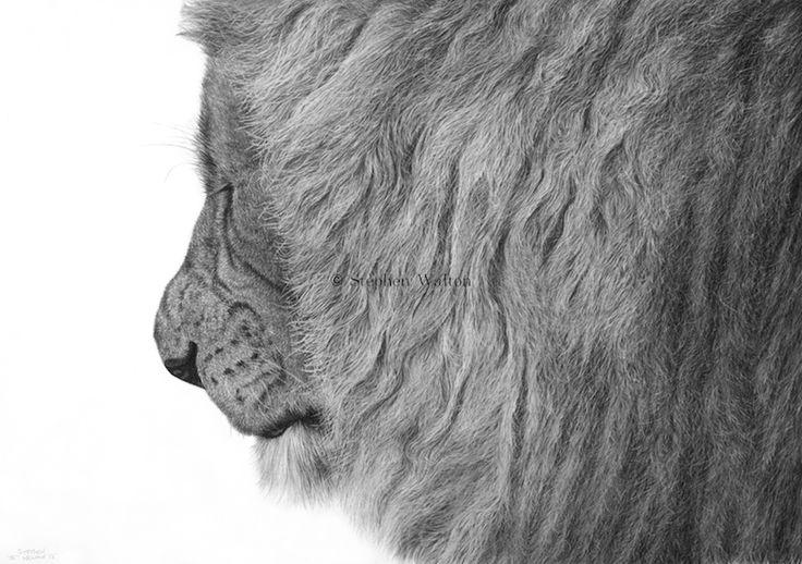 Grizzly by Stephen Walton #disegno #illustrazione #animali #matita #leone