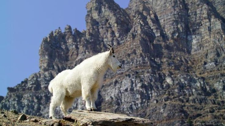 Olympic National Park Targeting Mountain Goats For Removal : The Two-Way : NPR