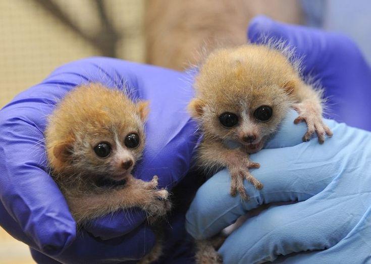 Little pigmy slow loris twins born at Duke Lemur Center