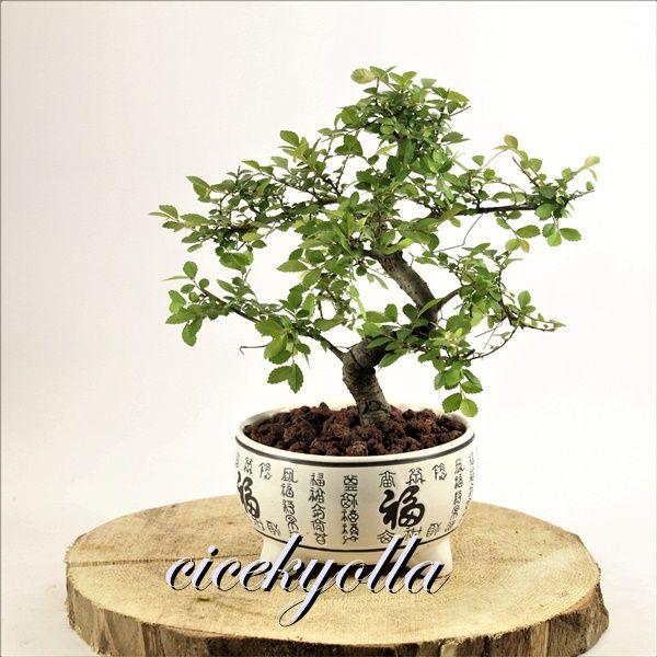 Zelkova Bonsai Ağacı,zelkova ağacı siparişi,elkova bonsai