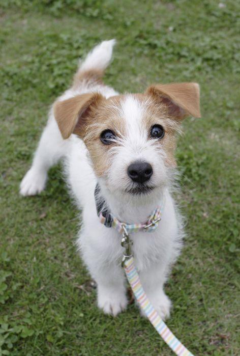 最近人気のジャックラッセルテリア : 愛犬ARLESとPhotoDiary