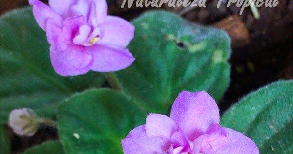 Descripción de la planta Violeta Africana, género Saintpaulia. Imágenes de variedades de sus flores. Condiciones de cultivo y cuidado.