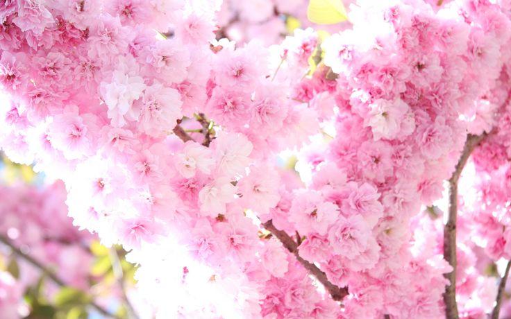Красивые картинки сакуры нежные