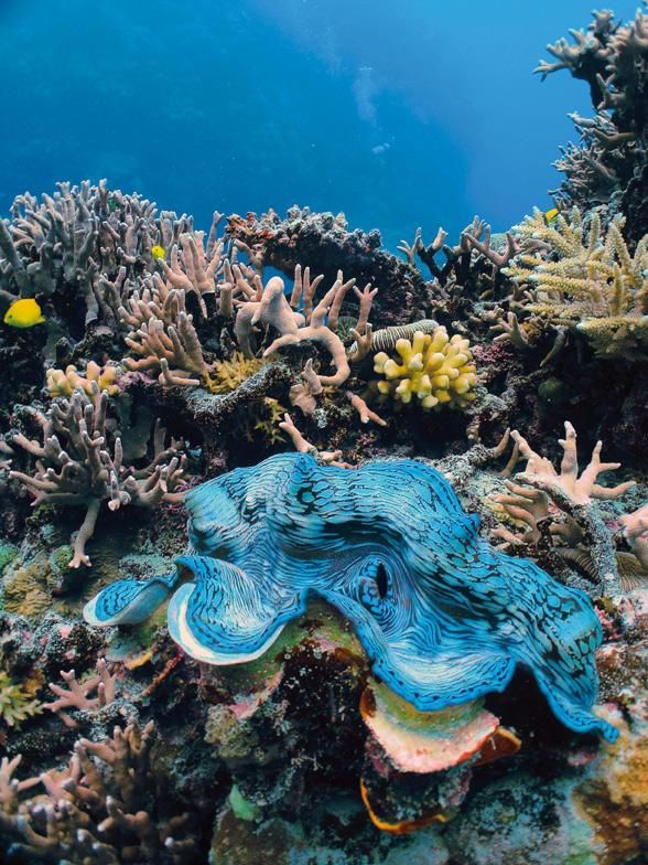 The famous giant clam, the world's largest species of mollusk, can be found up and down the Great Barrier Reef