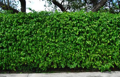 Ficus Benjamina hedges in So. FL - not a good plant to have.