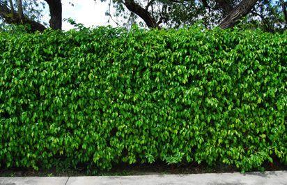 Ficus Benjamina Hedge Landscape Pinterest Whitefly