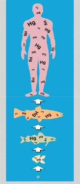 Bioaccumulation in humans