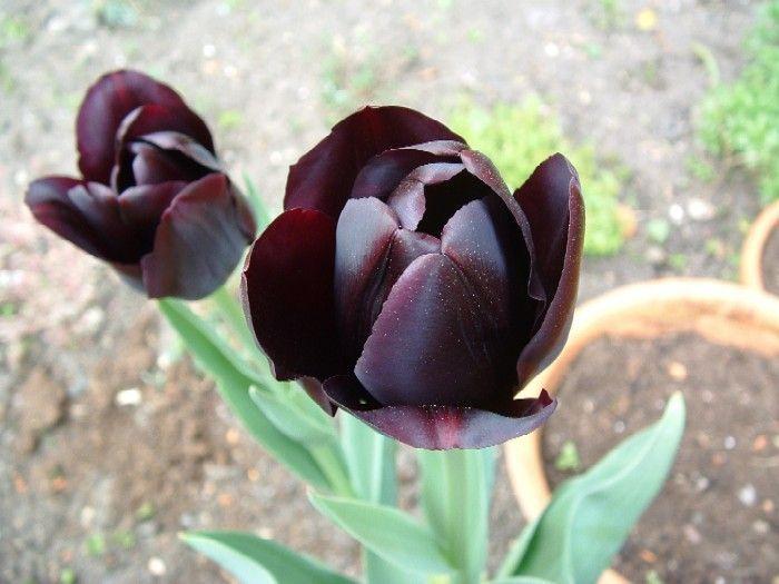 exoticflowersdarkpurplesbluesblack | black flowers walpapers