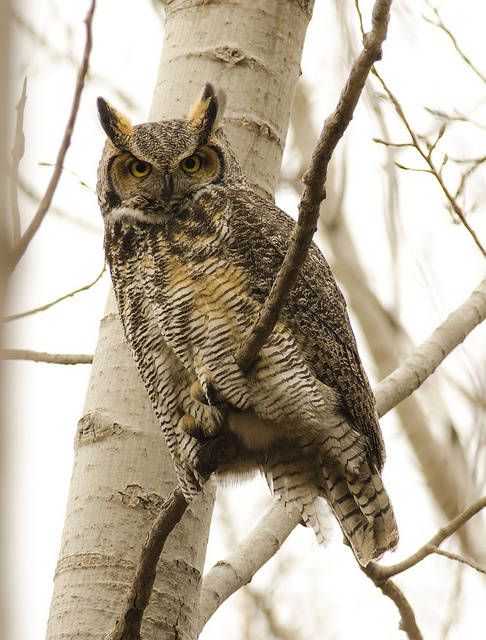 1000 images about birds owls on pinterest short eared for What owls look like without feathers