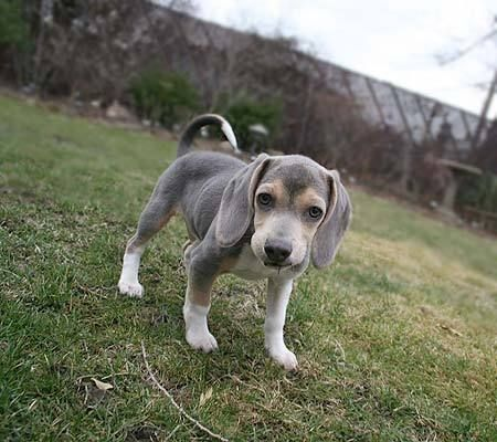"""silver""/gray beagle... i cannot wait to get this beautiful baby!!"
