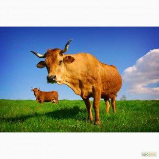 КРС Крупный рогатый скот