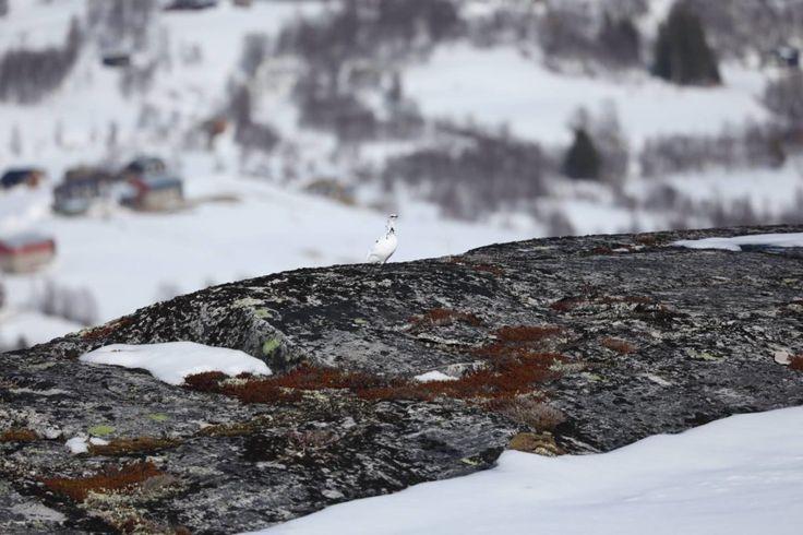 Vinterprøven 2017 i Storlidalen   Engelsksetter.com