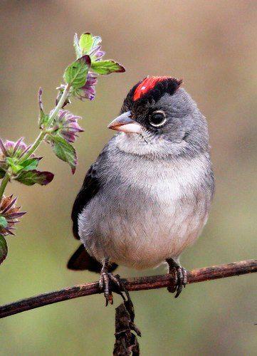 pileated finch (Coryphospingus pileatus)  Wild Bird