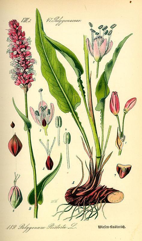 De eetbare en medicinale adderwortel