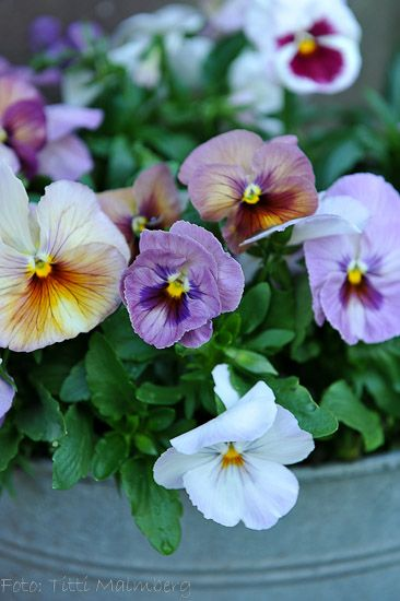 violas, waiting for the summer