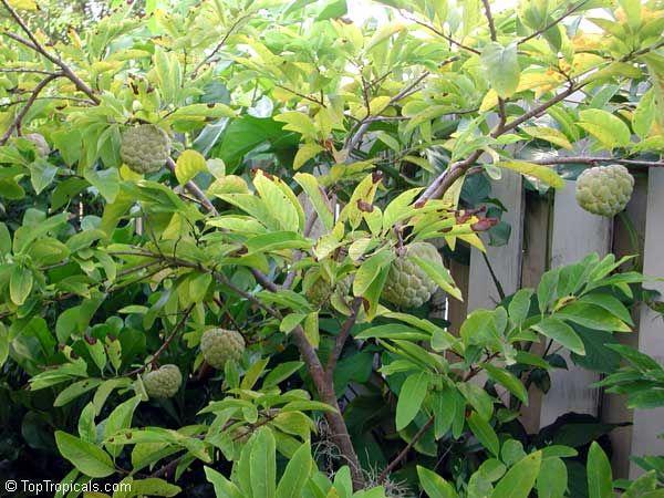 Annona squamosa (sugar apple)