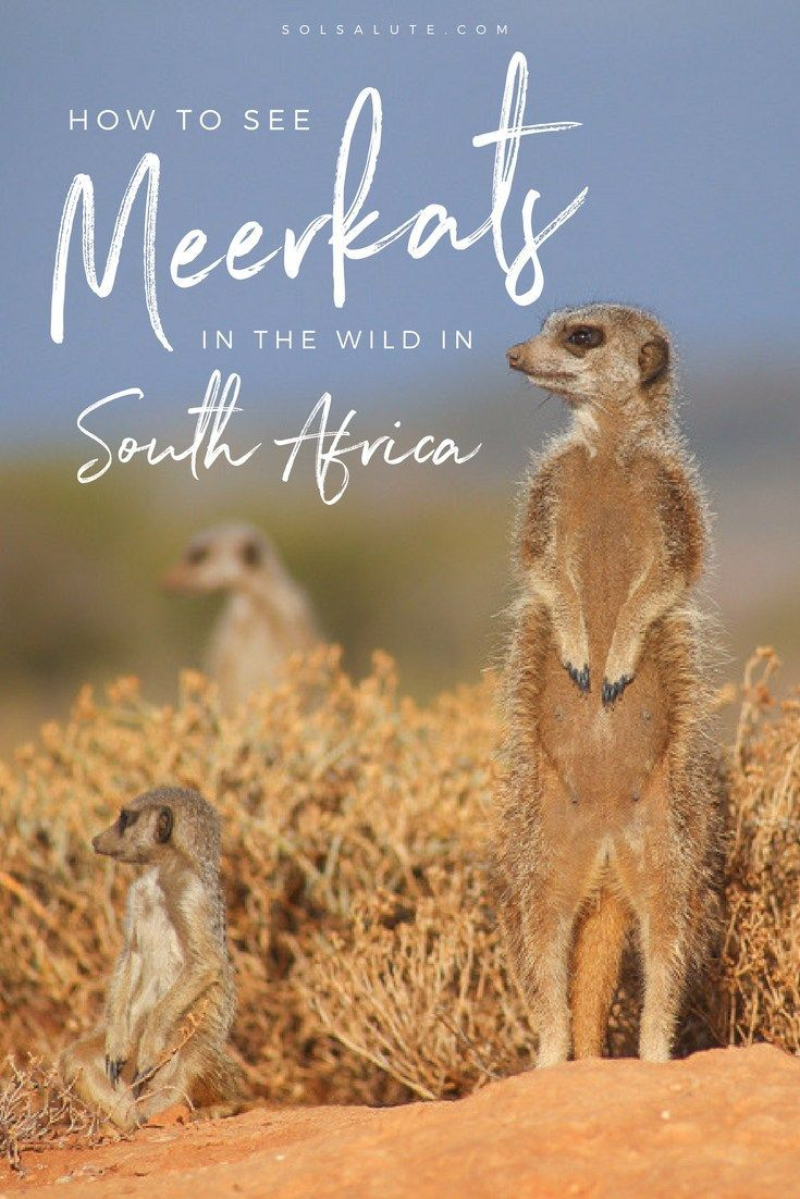 See meerkats in the wild in South Africa, how and where! #southafrica #outdshoorn #littlekaroo #safari