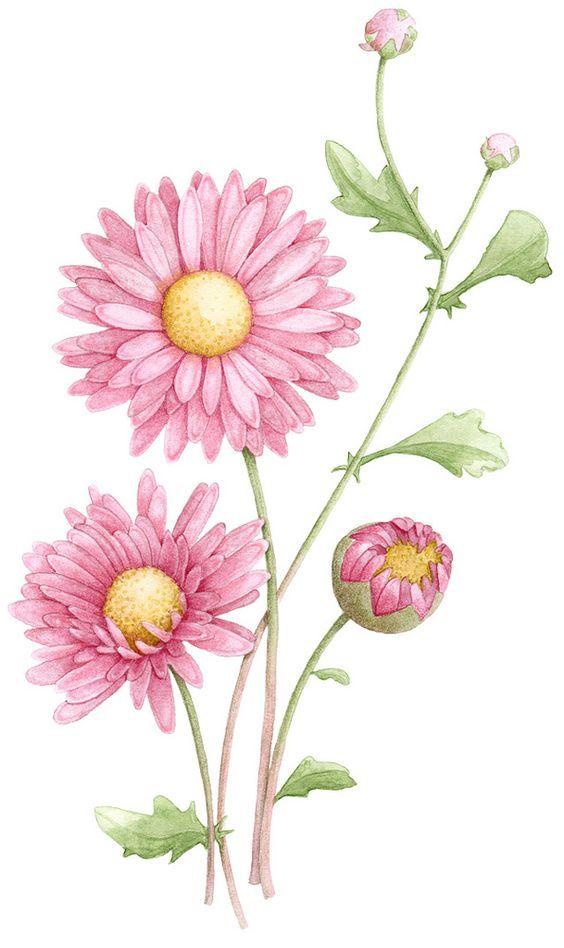 Картинка цветок астра нарисованная