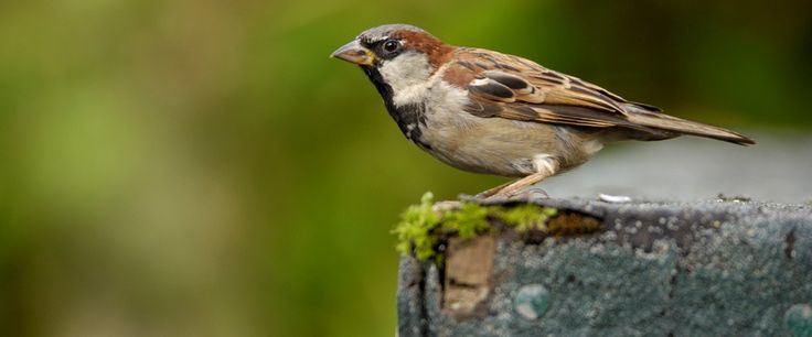 Male house sparrow // what is happening to our House Sparrows ? //