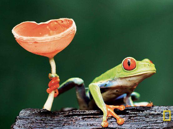 Foto: Megan Lorenz PERERECA DE OLHOS VERMELHOS Em uma excursão fotográfica à Costa Rica, Lorenz ansiava por fotografar uma perereca de olhos vermelhos. Pouco antes de anoitecer, ela deu sorte: um espécime subiu em um tronco próximo e agarrou-se a um fungo para manter o equilíbrio.