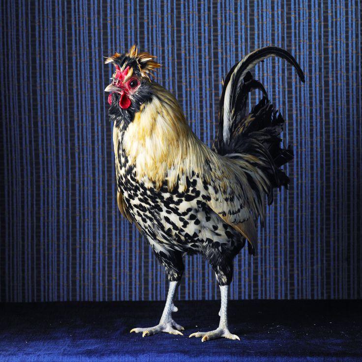 Kury portret własny / Bantamka brabancka kremowa / zdjęcie: Tamara Staples