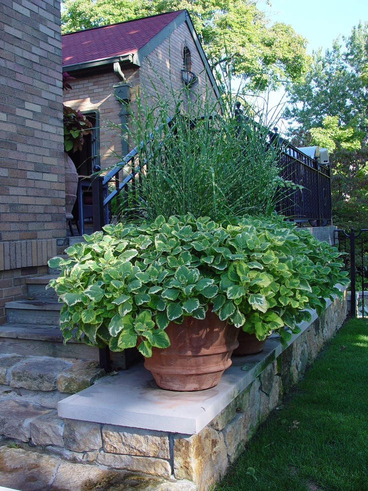 Zebra grass and gold variegated plectranthus green for Zebra grass landscaping ideas