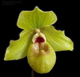 Orchid Hybrid: Paphiopedilum 'Jade Dragon' (malipoense x fairrieanum 'Sosa')