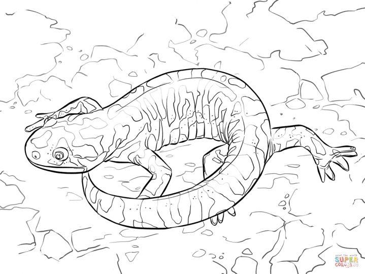8 Salamander Coloring Page Animal Coloring Pages Cool Coloring Pages Coloring Pages