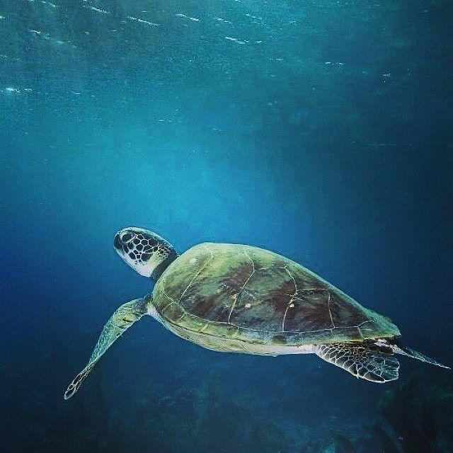 """Te gustan las tortugas marinas?  Entonces te va a gustar apoyar su conservación.  Ya inició la temporada de anidación de tortugas marinas en el Caribe.  Durante los próximos meses las hembras adultas de tortuga verde cardón caguama y carey """"subirán"""" a la playa a la que sueles ir y pondrán sus huevos la misma playa en la que su madre lo hizo hace varios años atrás porque casi todas las especies de tortugas marinas ponen sus huevos en la playa en la que emergieron del nido cuando eran…"""