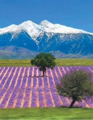Lavender fields with the French Alps in the background, Vaucluse, Provence    ᘡղbᘠ