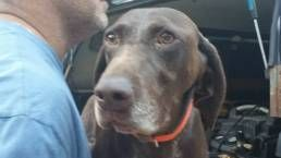 Wisconsin German Shorthaired Pointer Rescue WGSPR Inc. - Trigger