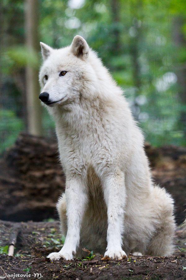 Arktischer Wolf by Mladen Janjetovic, via 500px - I thoughtful wolf at the Vienna Zoo.                                                                                                                                                                                 Mehr