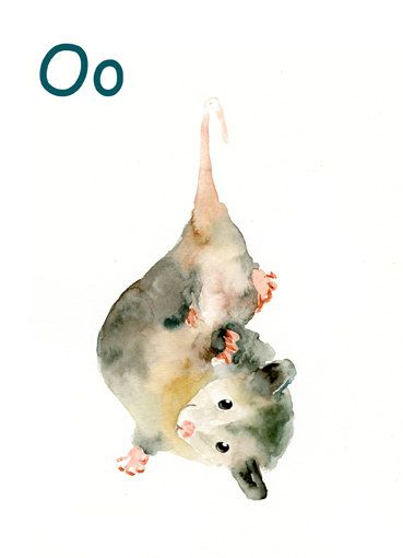 Cute possum watercolour watercolor /alphabet-animal-o-for-opossum-by