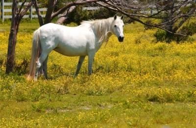 Ocracoke Island pony