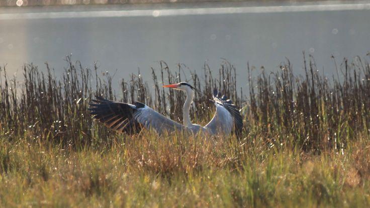 Grey heron, Ngciyo wetlands