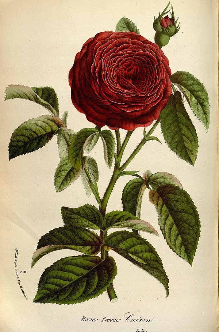 Rosa hort. cv. Cicéron. Houtte, L. van, Flore des serres et des jardin de l'Europe, 1845. Illustration contributed by the Missouri Botanical Garden, U.S.A. Antique botanical rose illustration.