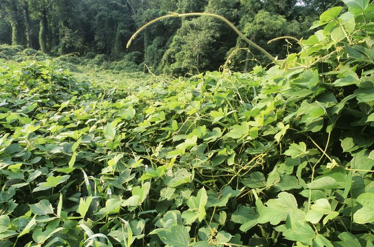 Get the lowdown on the healing benefits of kudzu, an herb long used in traditional Chinese medicine for alcohol reduction, headaches and heart health.