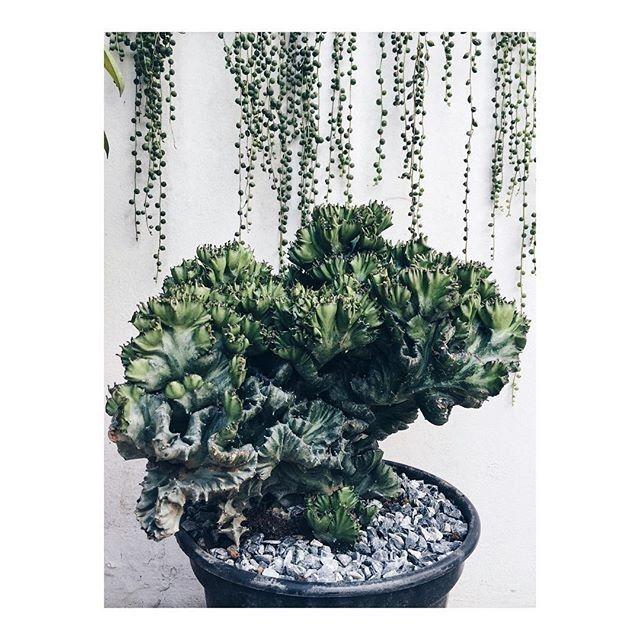 Coluna Natureza em Casa (foto: FLO atelier botânico) matéria: aprenda a diferenciar cactos das euforbias