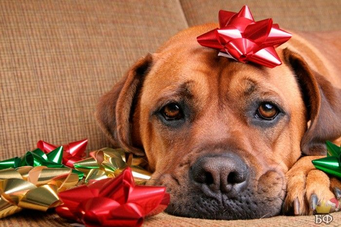 christmas6 15 Most Beautiful Christmas Dog Photos