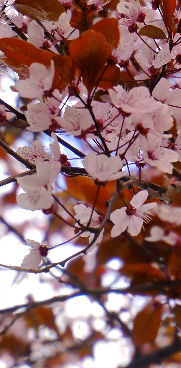 Beautiful Cherry Blossom (Sakura) => Golden Week in Japan will be awesome ^^